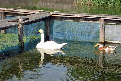 保護された白鳥